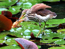 Heron catching fish in Chinese pond Royalty Free Stock Photography