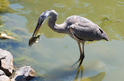 Heron Catching Fish Royalty Free Stock Photography