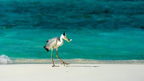 Heron catching fish in the Maldives. Heron catching fish in the Maldives Royalty Free Stock Photography