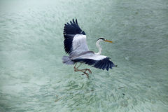 Heron catching fish in the Maldives. Island Stock Photo