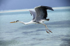 Heron catching fish in the Maldives. Islend Royalty Free Stock Photo