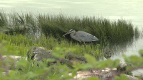 Heron Catching Fish stock footage