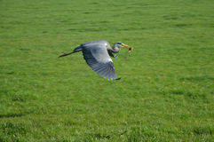 Heron catching frog Royalty Free Stock Photography