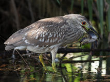 Heron with Catfish. Juvenile heron with large catfish Stock Photography