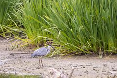 Heron cathes fish Stock Image
