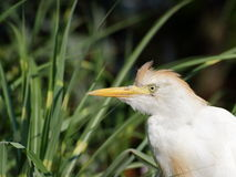 Heron Cattle Egret protrait Stock Photography