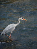 A heron on the chase Royalty Free Stock Image