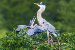 Heron Chick And Adult. Young Fledgling Blue Heron Chick Begging For Food From Adult Royalty Free Stock Photo