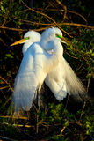 Heron Chicks Royalty Free Stock Photography