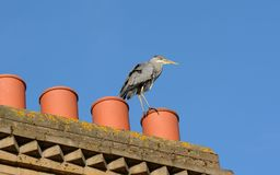 Heron on chimney tops Royalty Free Stock Image