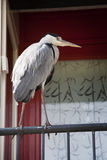 Heron in the city Royalty Free Stock Photos