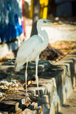 Heron in the City. A big white heron with graffiti background Stock Images