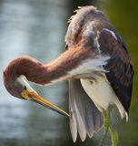 Heron Cleaning Itself. Wild heron preening or cleaning itself in the daylight Stock Image