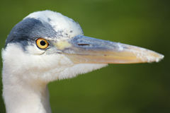 Heron Close-up Stock Images