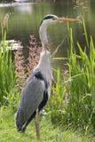 Heron. Close up of heron along the water Stock Photo