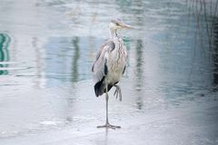 Heron. The close-up a heron stands on ice. Scientific name: Ardea cinerea Stock Photo