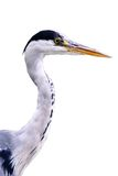 Heron close up view. Isolated on on white background Royalty Free Stock Photos