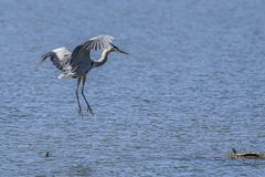 Heron comes in for landing stock images