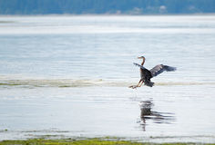 Heron coming in for a landing at Joemma Beach on the Key Peninsula of the Puget Sound near Tacoma Washington. USA Royalty Free Stock Photography