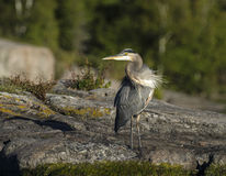 Heron Corkscrew Neck. Heron with a corkscrew neck looks over his shoulder Royalty Free Stock Image