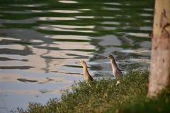 Heron couple Stock Photography