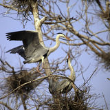 Heron couple Stock Images