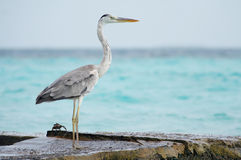 Heron and crab. Stock Photos