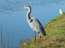 Heron and Crane Royalty Free Stock Photo