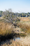 Heron in Creek Bed of Wetland Marsh. Golden grasses in a wetland marsh with a Great Blue Heron in the creek Stock Images