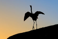 Heron Dances in the Sunset Royalty Free Stock Photography