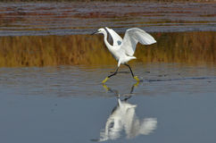 Heron dancing on the lake. White egret dance on the water surface Stock Photography