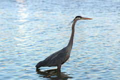 Heron at dawn Royalty Free Stock Images