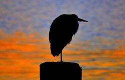 Heron at dawn Stock Photos