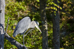 Heron Scratching His Chin Stock Photo