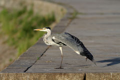 Heron from the Douro Royalty Free Stock Images