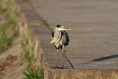 Heron from the Douro Stock Photo
