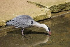 A heron drinking water from a pool. Royalty Free Stock Photo