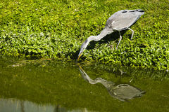 A heron drinking water and reflection. At Westland, Netherlands Stock Photos