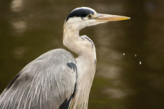 Heron with drop spill Royalty Free Stock Image
