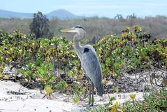 Heron in dunes and beach Galapagos Island Royalty Free Stock Photo