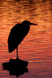 Heron at Dusk. A silhouette of a Great Blue Heron perched on a rock at dusk Stock Photos