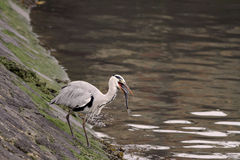 Heron eating Stock Image