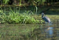 Heron Eating Dragonfly Stock Photos