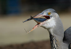 Heron eating a fish. A great blue heron with a fish Royalty Free Stock Images