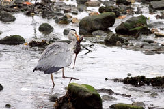 Heron eats a mouse Royalty Free Stock Image