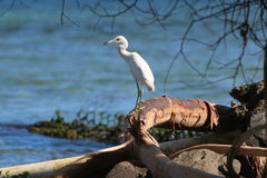 Heron / Egret fishing from a log at the seashore looking out to sea stock photos