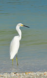 Heron Egret in the Water Stock Photography