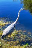 Heron in Everglades Stock Photography