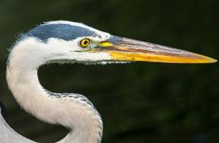 Heron in Everglades Stock Images