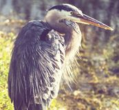 Heron in Everglades Royalty Free Stock Images